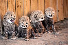 LIVE cheetah cam! Cute attack. Your Wednesday is about to get a whole lot less productive :)