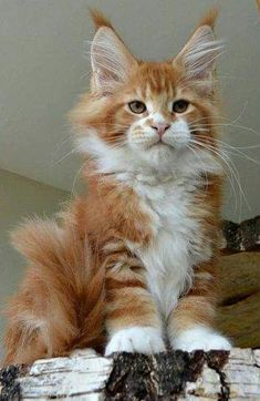 Maine Coon kitten fever http://www.mainecoonguide.com/fun-facts-maine-coon-cats/ http://www.cleaverkittycats.com/product-category/beds-furniture/activity-trees/