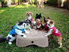 ネコ親分と7匹のチワワの大家族がとても幸せそうな 9枚 | BUZZmag
