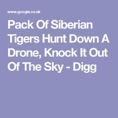 Pack Of Siberian Tigers Hunt Down A Drone, Knock It Out Of The Sky - Digg