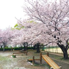 82:「桜がとても綺麗な公園です」@津門中央公園