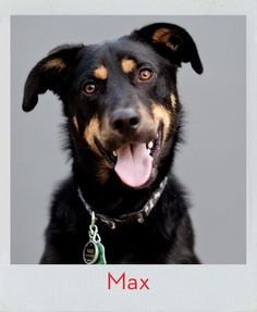 Our next KONG dog is always ready to fetch…meet Max! Funny Dogs, Cute Dogs, Kong Company, Dog Test, Office Dog, Cute Dog Photos, Dog Care, Best Dogs, Polaroid