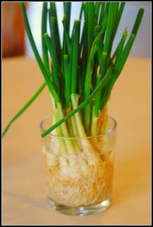 Quit wasting money on green onions! Next time you buy fresh green onions don't toss the white ends. Instead stick them in water and place in a sunny window. Whenever you have a recipe that calls for green onions just snip off what you need.