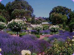 Lavender Farm - Blackwood Valley Region, Southwest Australia