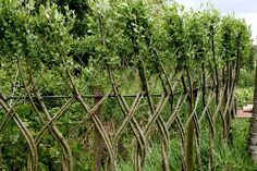 Living willow fences (450×300)