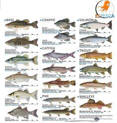Infografías de peces 28