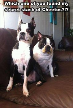 """Which one of you found my secret stash of Cheetos? I guess we'll never know."" ~ Dog Shaming shame - Boston Terrier Dump A Day Funny Pictures Of The Day - 92 Pics Love My Dog, Humor Animal, Animal Memes, Funny Animal Pictures, Funny Animals, Cute Animals, Animal Pics, Funny Photos, Funny Dogs"