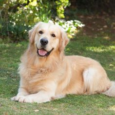 The many things we all like about the Intelligent Golden Retriever Puppy Cute Puppies, Cute Dogs, Dogs And Puppies, Doggies, Beautiful Dogs, Animals Beautiful, Adorable Animals, Beautiful Creatures, Dogs And Kids