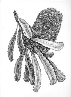 This illustration/drawing of a Banksia serrata is probably about half way through but I am pleased with the way it is coming along. I have a couple more drawings sitting back in various states but . Australian Wildflowers, Australian Native Flowers, Australian Artists, Botanical Drawings, Botanical Art, Botanical Illustration, Flower Drawings, Pencil Drawings, Watercolor Painting Techniques