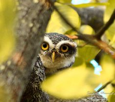 Spotted Owlet hide-and-seek