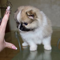 Moscow / Available Pomeranian spitz Mini size and show perspective Shipping worldwide Information in WhatsApp +790 555 33 9 33 Reservation and payment dy PayPal