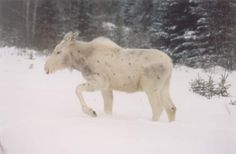 albino spotted moose calf - can I please pet you?