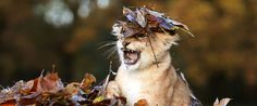 Adorable Lion Cub Loves Playing In Autumn Leaves More Than Anything In The World (PHOTOS)