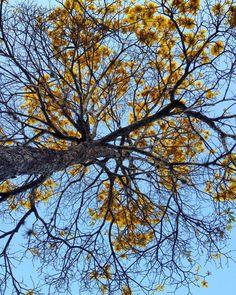@gabybertoldo  #tree #primavera #primer #flower #flowers #nature #arvore #foto #fotografia #photo #photography #adventure #carpe #diem #yewllow #amarelo #flor #flores #instagram