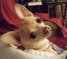 Isabelle the Chihuahua #chihuahua