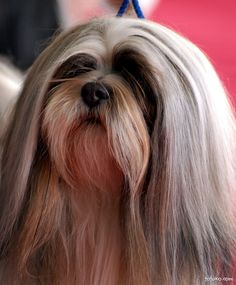 Long haired Lhasa!