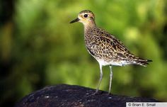Pacific Golden-Plover:  Saw a female (like this one) on the top of a building in Princeville, and another one at the State Park near Hanalea, Kauai.