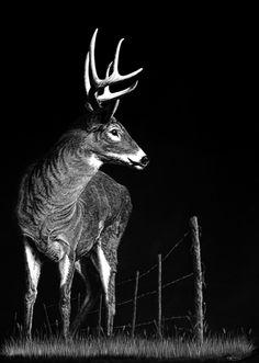 Scratchboard Drawings of Wild Animals. To see more art and information about Allan Ace Adams click the image. Charcoal Sketch, Charcoal Art, Black White Art, Black And White Drawing, Art Scratchboard, Hyperrealistic Drawing, Color Pencil Sketch, Black Paper Drawing, Laser Art