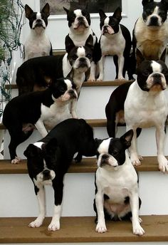 Stairway to heaven #bostonterrier