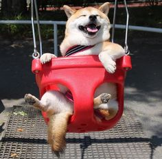 Doggo does a swing
