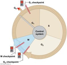 Cell cycle diagram with checkpoints