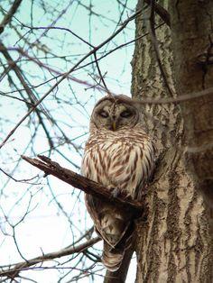 Sleepy owl - Iowa City (ksl photo)