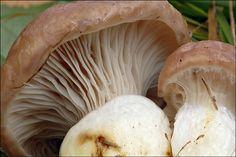 Slimy Spike Cap (Gomphidius Glutinosus) in The Pacific Northwest Edible Mushrooms, Wild Mushrooms, Stuffed Mushrooms, Haida Gwaii, Wild Edibles, Pacific Northwest, British Columbia, North West, Cap