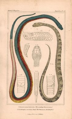 Winding Trimeresurus and Venemous Acanthopis Snakes 1834 Cuvier Print Plate 30