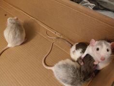 Rat pile! Sokar wants nothing to do with the new babies bless him! #aww #cute #rat #cuterats #ratsofpinterest #cuddle #fluffy #animals #pets #bestfriend #ittssofluffy #boopthesnoot