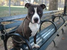 "TO BE DESTROYED 10/27/13  Manhattan Center-P~JUNIOR~ID # is A0982670. Male brown and white pit bull mix. 1 YEAR. I came in the shelter as a STRAY on 10/21/2013 . THIS IS A 1 YEAR OLD BABY!!! Easy going and gently affectionate, Junior is the kind of pup that reinforces the concept of ""man's best friend"". He wags his tail happily throughout our walk in the park, trotting along at a crisp pace and passing other dogs with a graceful ease. He is also the gentle companion."