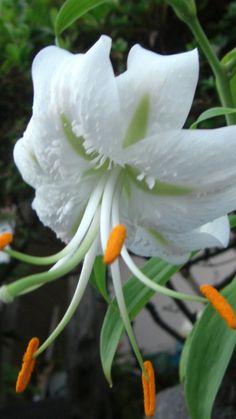 Lily lírio