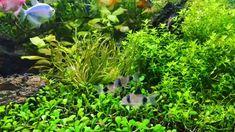 Successful Aquarium - Home to happier fish Aquarium Garden, Aquarium Landscape, Live Aquarium Plants, Nature Aquarium, Planted Aquarium, Tropical Fish Store, Tropical Fish Tanks, Tropical Aquarium, Terrariums