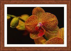 Orchid Flare Framed Print By Bill Tiepelman