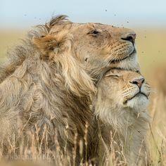 Leonine Affection by David Lloyd on 500px