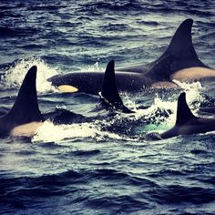 A #pod of wild #orcas surfacing in the #NorthAtlantic #Ocean off #Iceland. According to the #WDC (#Whale and #Dolphin #Conservation), as of October 2013, a total of 54 orcas are held in captivity around the world in 11 #marine #parks in 7 different countries. If you want to learn more about the issue of #killerwhales in #captivity, watch the compelling and controversial #documentary #Blackfish, airing tonight on @cnn at 9pm ET/PT, and decide for yourself where you stand on the issue. ❤❤…