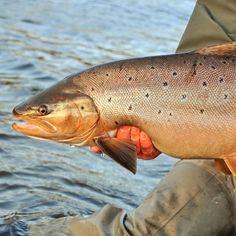 Fat #trout #seatrout #flyfish @solidadventures @timangeli  #patagonia #sunrayflyfish #lowdiameter