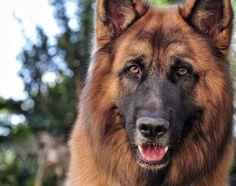 Chewie long coat German shepherd  Instagram @chewie.jax.the.gsds
