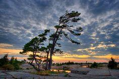Windswept Pine Georgian Bay