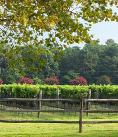 Nine Acres of Merlot Vines at the Williamsburg Winery