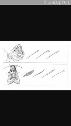 Een handig weetje om een dagvlinder van een motje (nachtvlinder) te onderscheiden: een dagvlinder heeft knopjes op zijn voelsprieten, een nachtvlinder heeft veertjes , veervormige uiteinden van de voelsprieten. Robert Kist op FB. Om, Triangle, Tattoos, Irezumi, Tattoo, Tattoo Illustration, A Tattoo, Tattoo Ink, Tattoo Designs