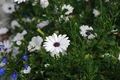 daisies-352389_960_720.jpg (960×642)