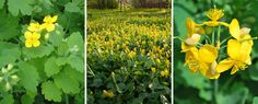 "It has been used as a medicinal herb starting from ancient times. In the old books about herbal remedies, Celandine is named ""the holy herb"", being very appreciated since those times. Other common names: greater celandine, common celandine, tetterwort. In Traditional Chinese medicine it is known as ""bai qu cai""."