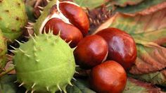 I really love the texture of conkers and their brilliant colours from their green spiky shell to the gorgeous shiny brown and pale matt beige/brown First Day Of Autumn, Autumn Day, Autumn Trees, Autumn Leaves, Conkers, Chestnut Horse, Winter Love, Fall Scents, Autumn Photography