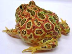 Red Ornata Horned Frog