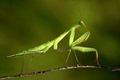 praying mantis - Buscar con Google