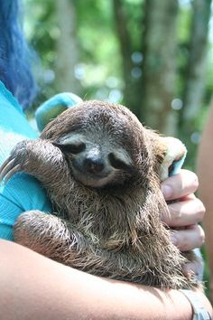Seriously thinking on taking a trip to Costa Rica. Beautiful baby sloth