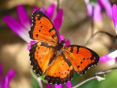 Метелики - Тло для робочого стола: http://wallpapic.com.ua/animals/butterflies/wallpaper-14695