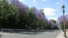 Jacaranda, avenida de Maria Luisa, Sevilla. 2016.