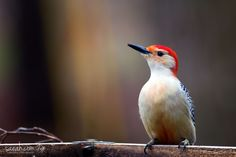 Red-bellied woodpecker (Melanerpes carolinus) The Botanical Gardens at Asheville, Asheville, North Carolina, USA