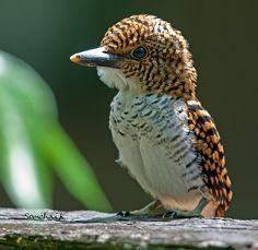 fairy-wren: female banded #Kingfisher